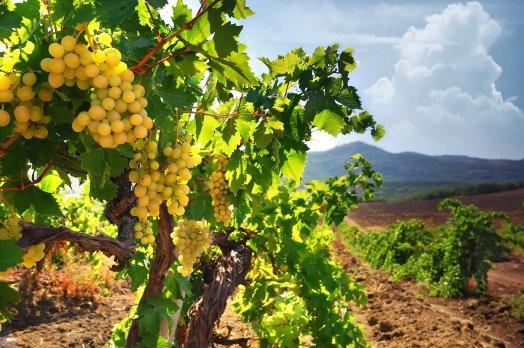 Тврдош виноградные поля